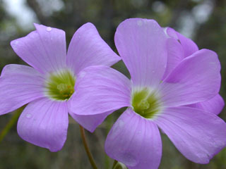Oxalis drummondii (Drummond's woodsorrel)