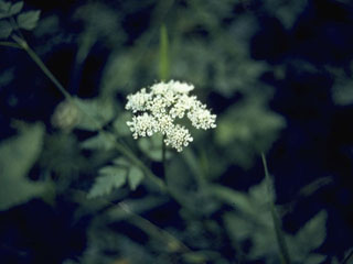 Oxypolis filiformis (Water cowbane)